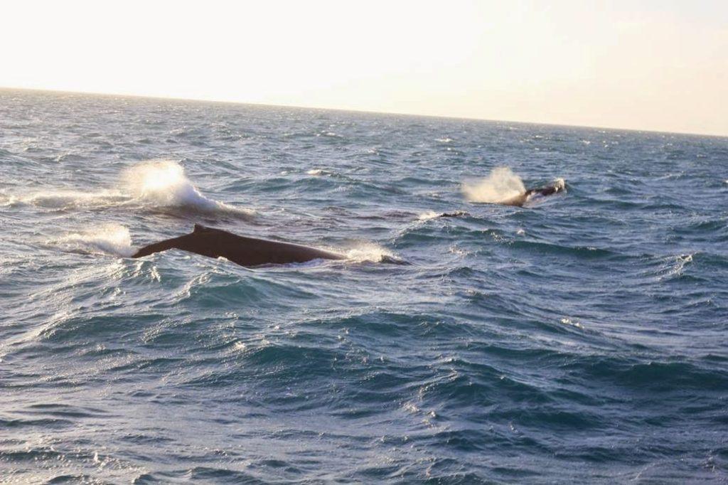whales brazil abrolhos bahia