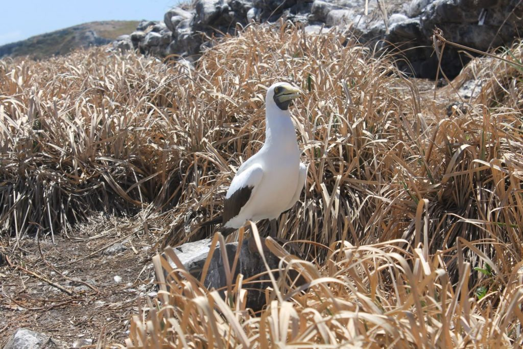 birds abrolhos bahia brazil