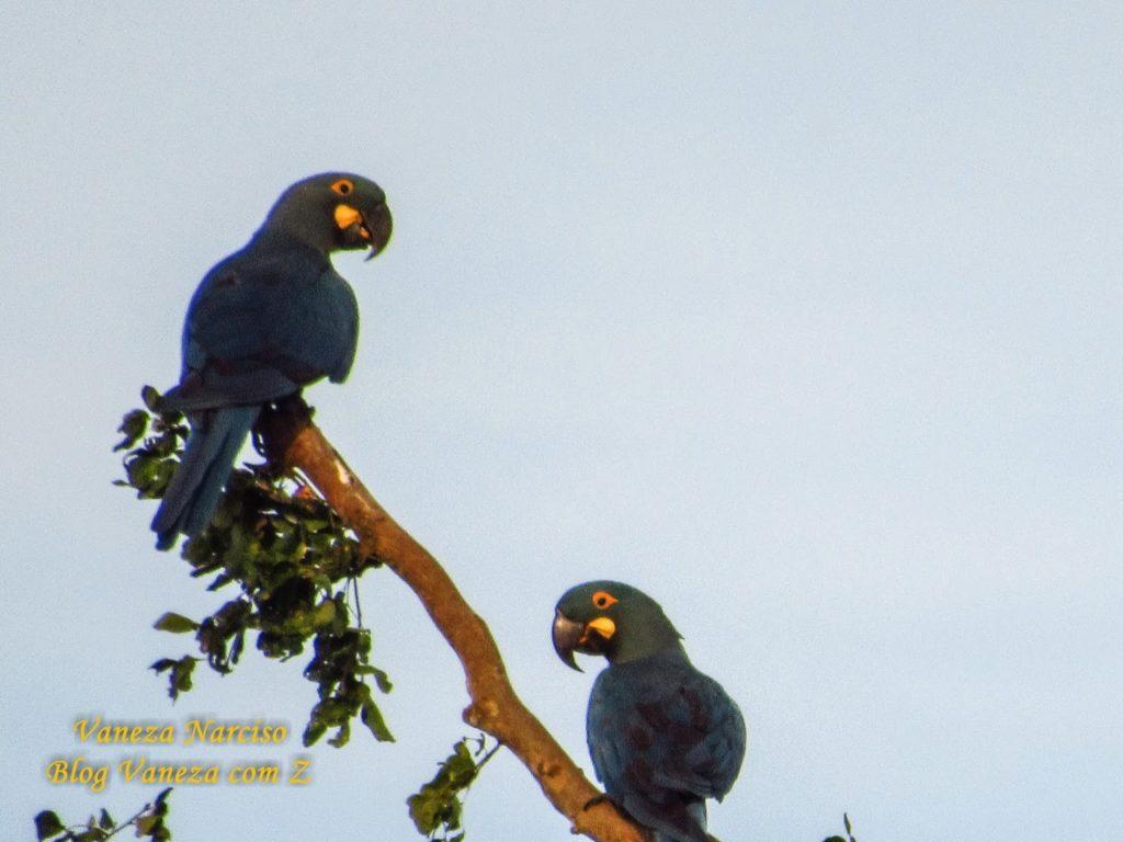 Conheça as araras azul de lear no Sertão da Bahia
